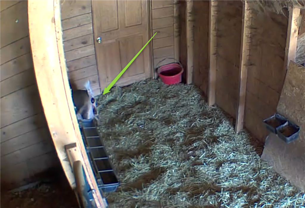 Barn cam - Maizey giving birth, Easter 2021